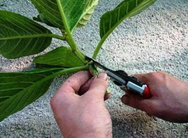 Обрезка нижних листьев гортензии