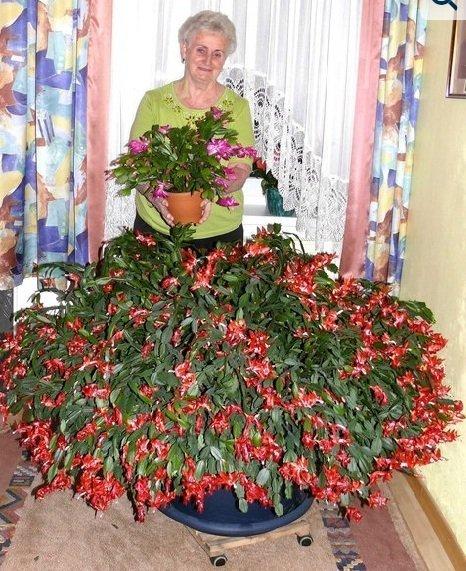 Огромный куст цветущего декабриста