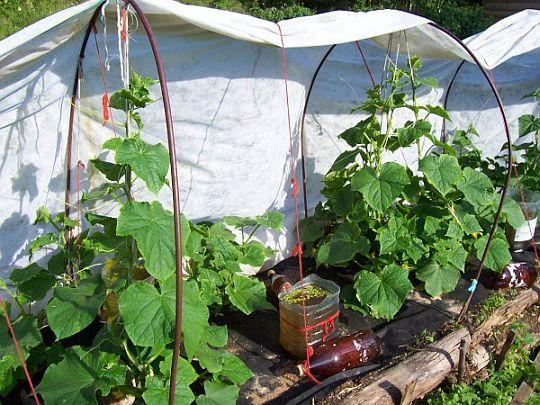 Огурцы под огородной плёнкой, натянутой на дуги