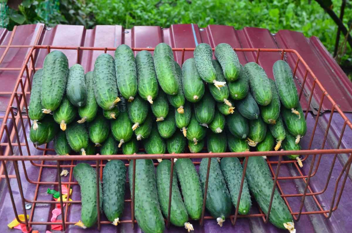 Paratunka cucumber: description and reviews 78