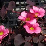 Оксалис пурпурный