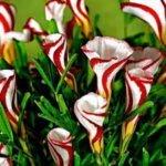 Оксалис разноцветный