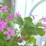 Оксалис розовый