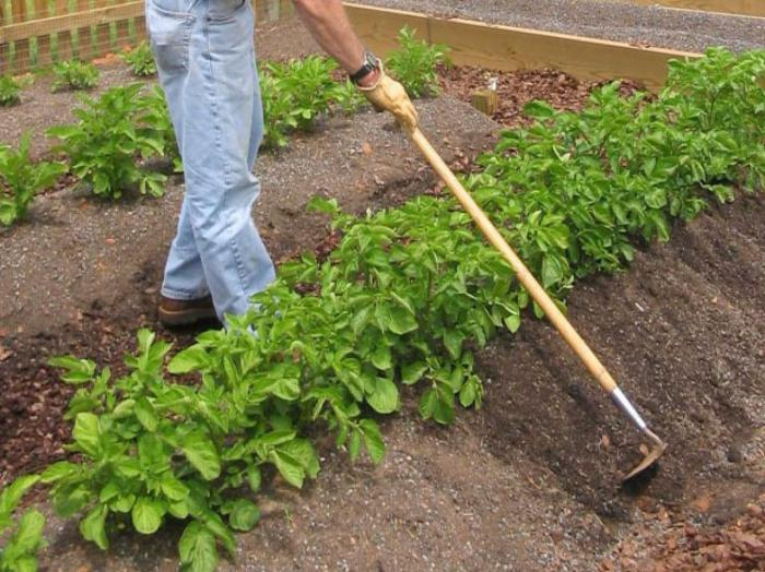 Процесс окучивания картофеля