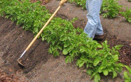 Окучивание кустов картофеля