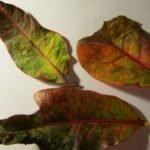 Опавшие листья кротона