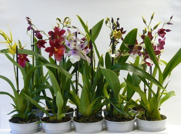Орхидеи Камбрии
