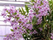 Орхидея благородная