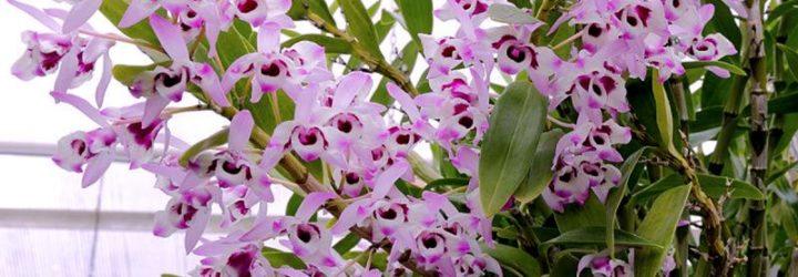 Уход за орхидеей дендробиум.