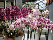 орхидея черенков