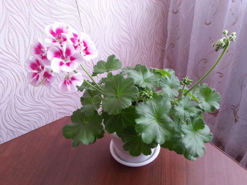 Цветущий кустик герани