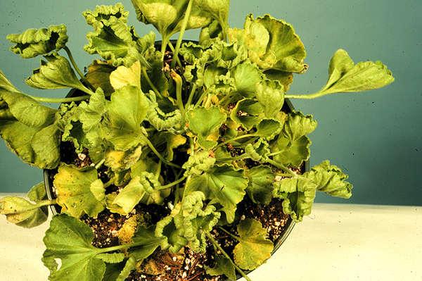 Пеларгония со скрученными листьями