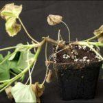Пеларгония, заболевшая чёрной ножкой