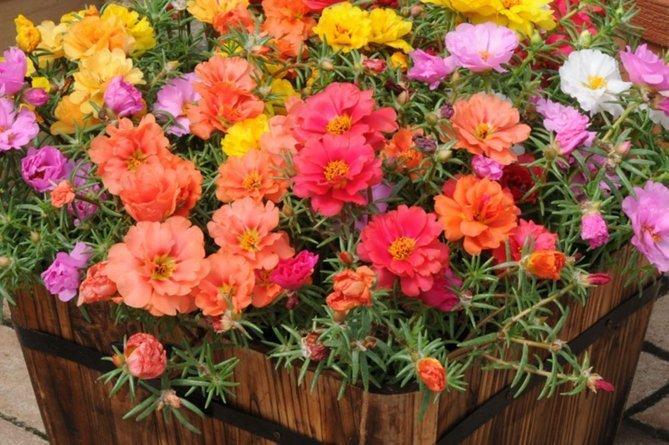 Цветы портулака