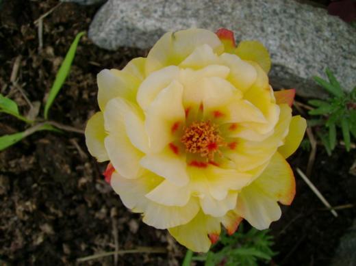 Цветок махрового портулака