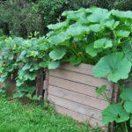 Выращивание кабачков в коробе
