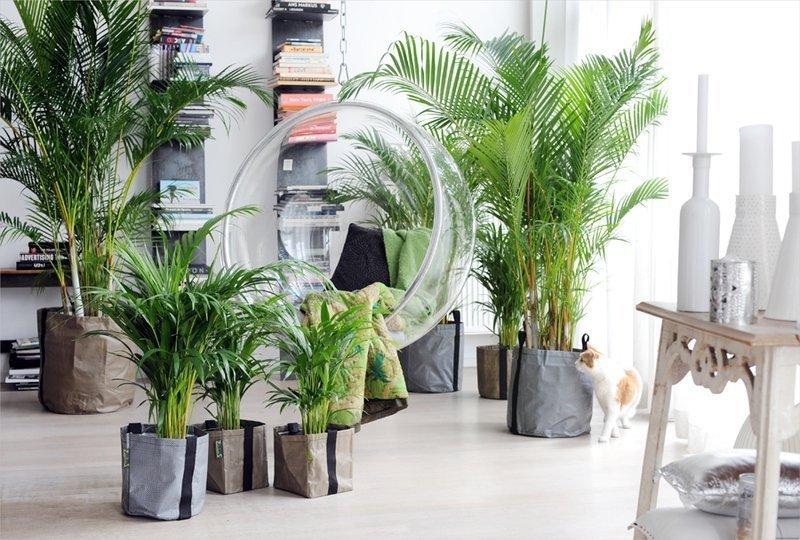 Пальмы арека в комнате