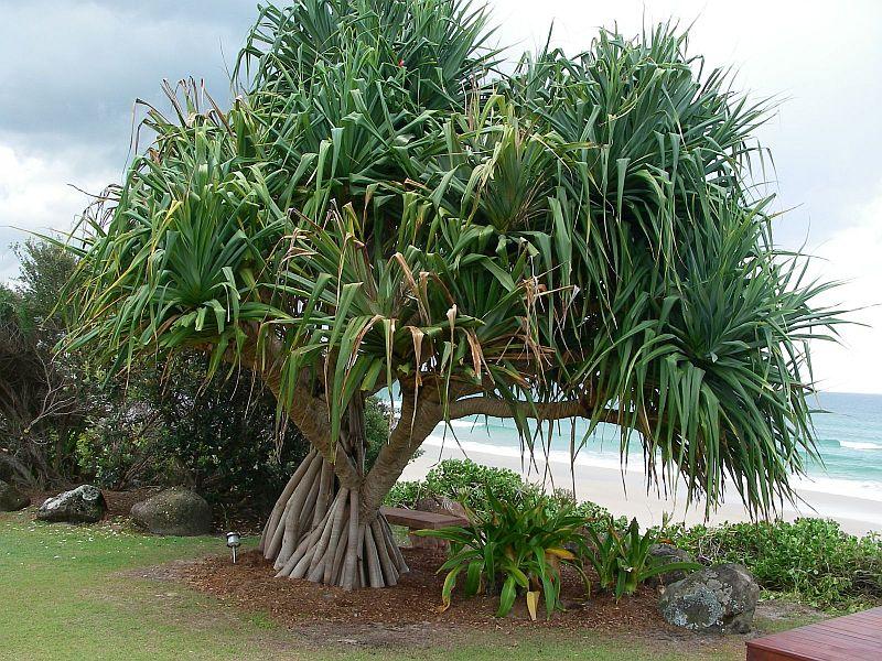 Пальма с колючками на листьях