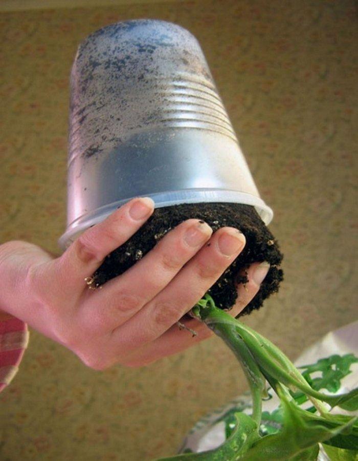 Изъятие растения с комом земли из старого горшка