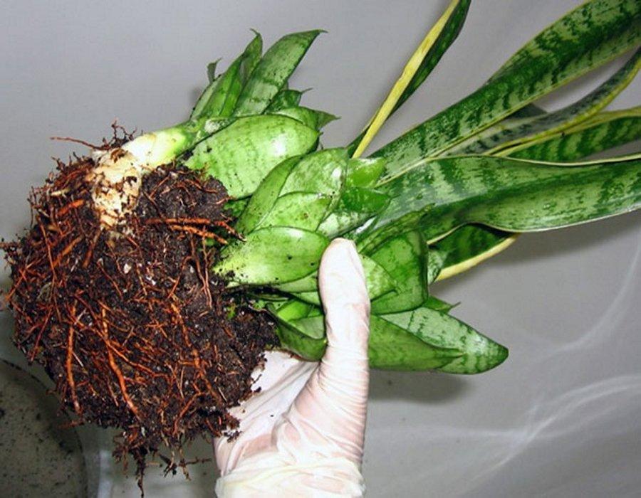 корни сансевиерии