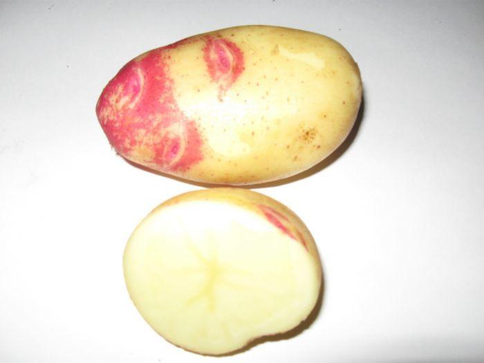 Самый вкусный картофель: сорт Пикассо