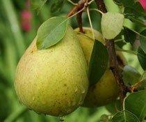 Плод груши Память Жегалова