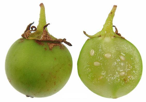 Плод картофеля в разрезе