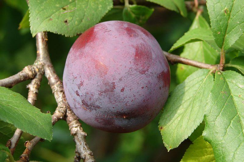 Плод сливы Евразия