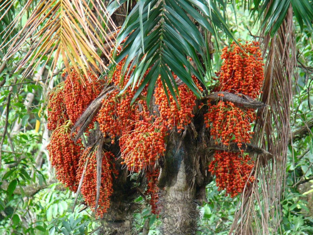 Плоды ареки на дереве