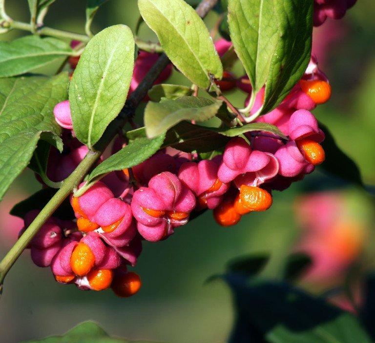 Плоды бересклета