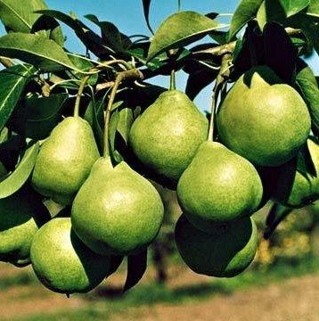 Плоды груши Августовская роса