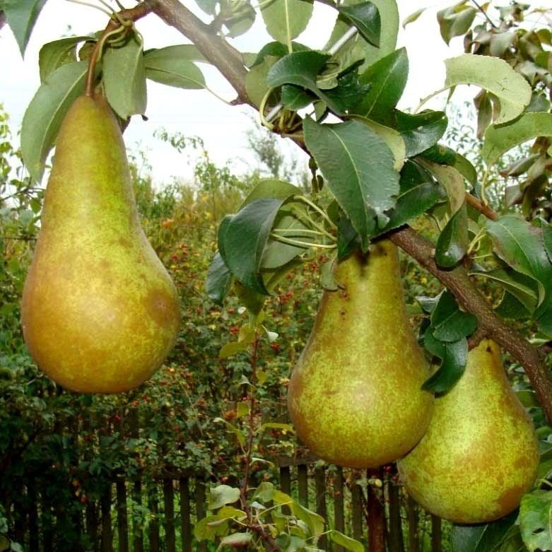 Плоды груши Конференция