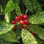 Плоды японской аукубы
