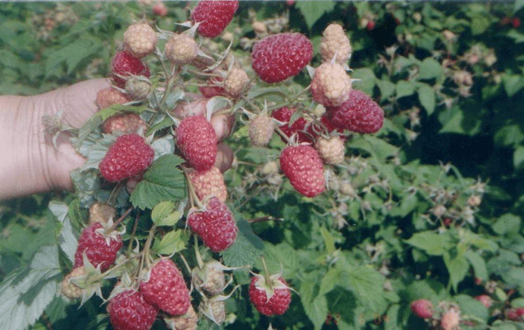 Побег с ягодами малины Геракл