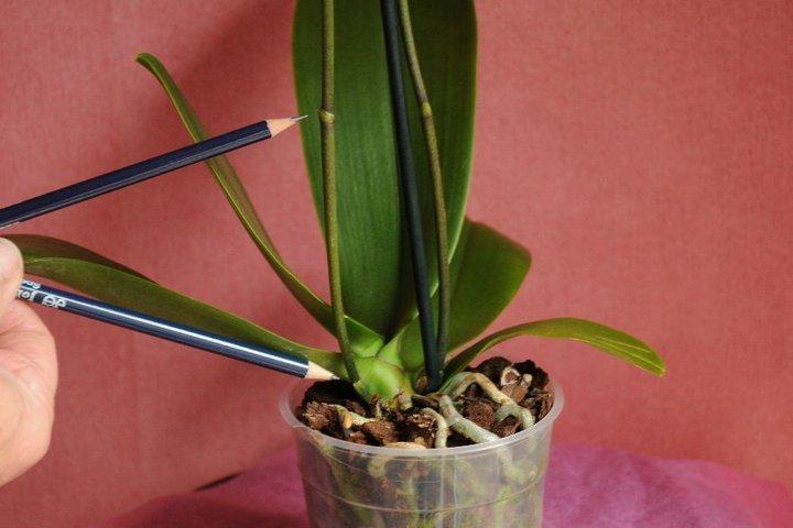 Почки на цветоносе орхидеи