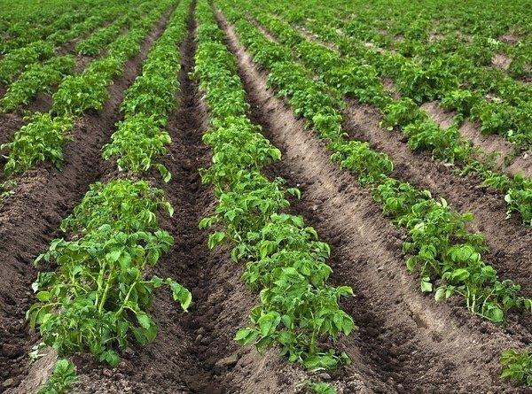 Поле картофеля Ред Скатлетт
