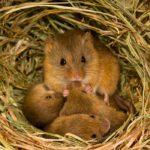 Животное-вредитель полевая мышь