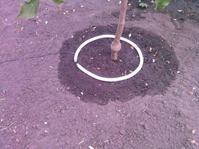 Полив дерева под ствол