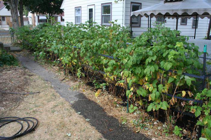 Полив кустов малины