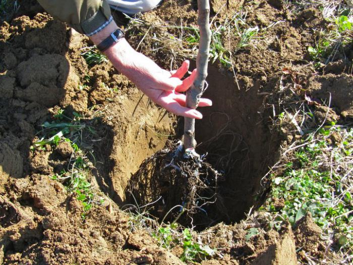 Посадка груши в яму