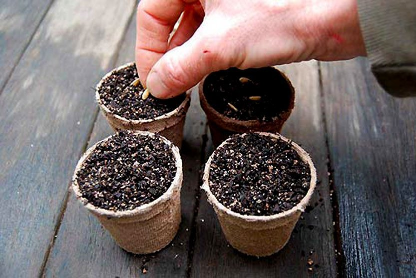 Посадка семян в торфяные горшочки