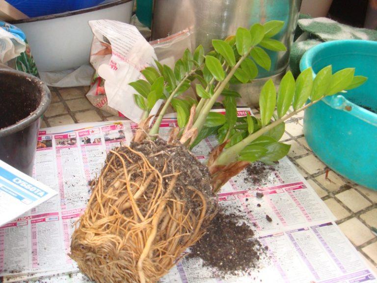 Почва для замиокулькаса в домашних условиях