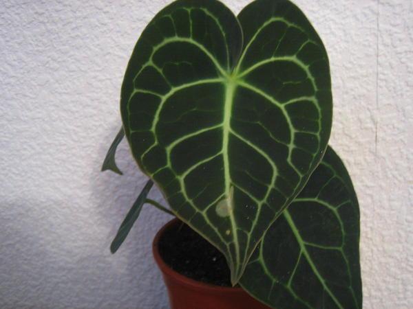 Посадочный материал для размножения листом