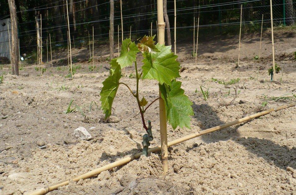 Посаженный черенок винограда