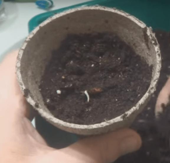 Посев семян арбуза в домашних условиях