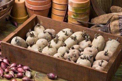 Процесс проращивания картофеля