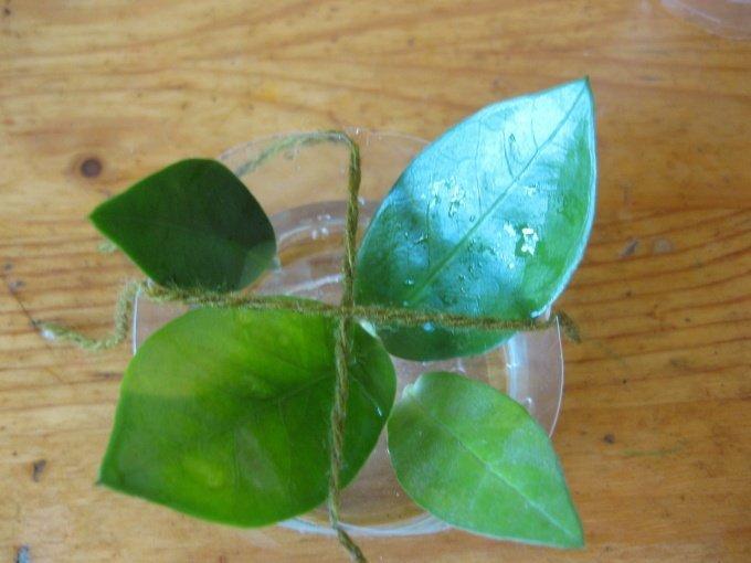 Проращивание корней замиокулькаса в воде