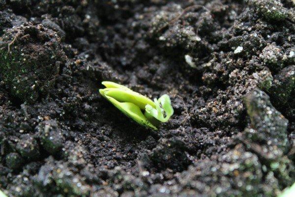 Проросшее семя баухинии