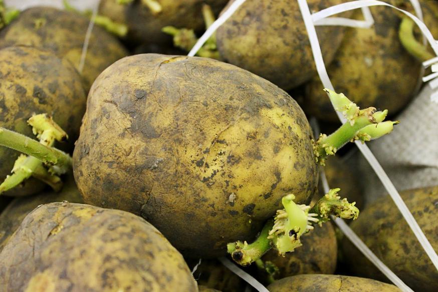 Проросшие клубни картофеля