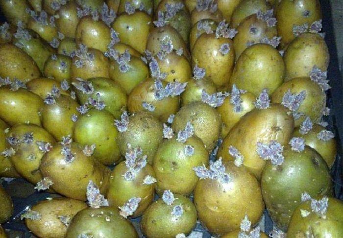 Проросший зелёный картофель